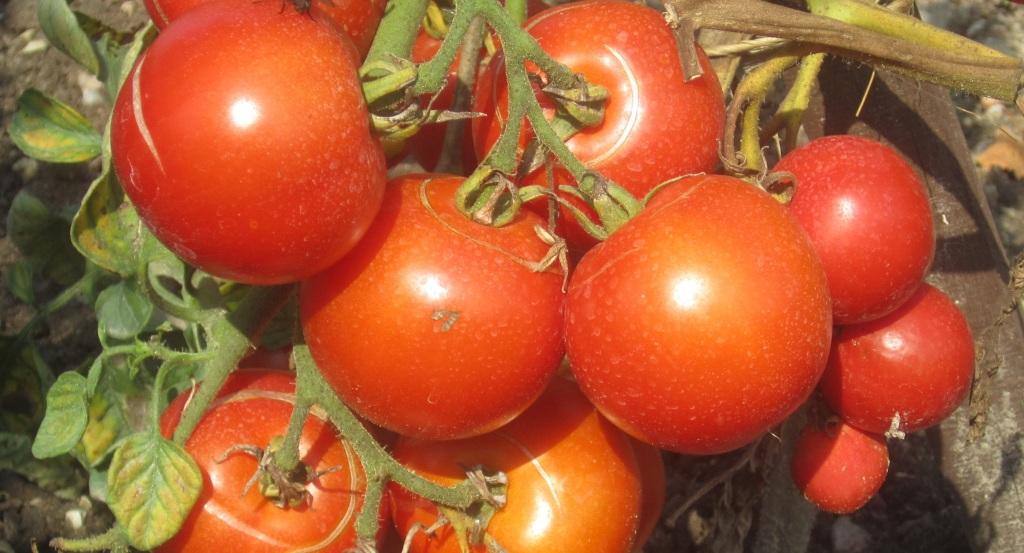 tomaten31